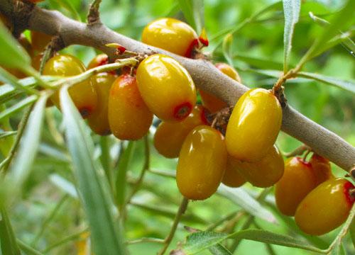 CLARITY Plus богата увлажняющими и успокаивающими растительными экстрактами облепихи и мальвы